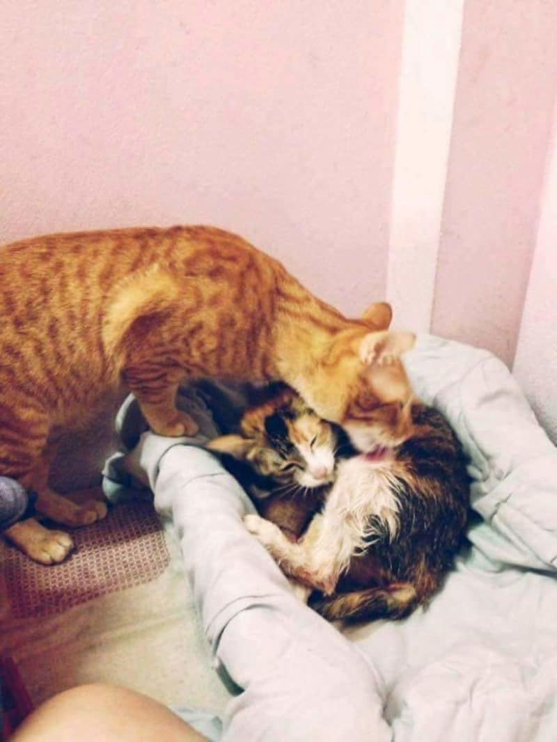 http://lifeterritory.su/wp-content/uploads/2018/01/Cat-Supports-Mom-Cat-Giving-Birth-02-1024x1364.jpg