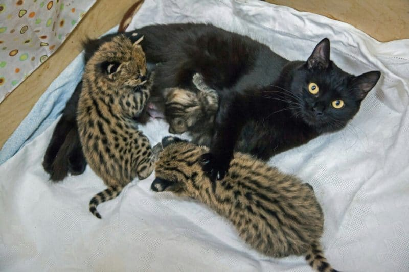 http://wowow.life/wp-content/uploads/In-Novosibirsk-zoo-two-cats-reared-kittens-Serval-Caracal-and-wild-cat-01.jpg